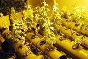 Detenido en Tomelloso al tener 142 plantas de marihuana de las que los vecinos alertaron por