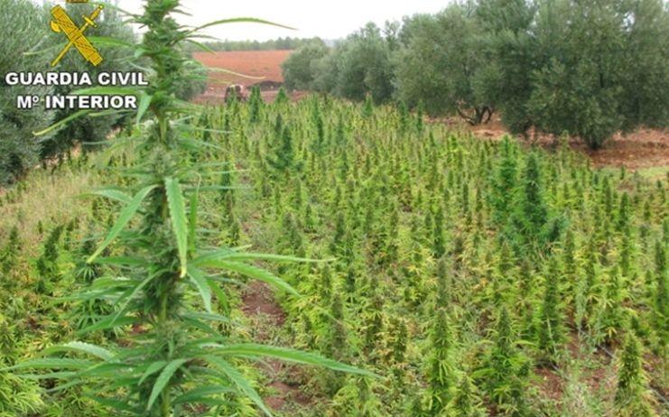 Intervienen 210 plantas y 250 gramos de marihuana en un cultivo indoor y detienen a su responsable en La Roda