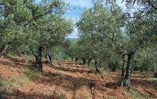 El Gobierno regional remarca su compromiso con el sector olivarero de la provincia de Cuenca que cuenta con una superficie de 27.000 hectáreas
