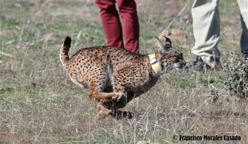 La Federación de Caza sentará en el banquillo al cazador que dio muerte a una hembra de lince en Castilla-La Mancha