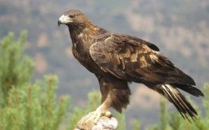 """El Gobierno de Castilla-La Mancha sigue impulsando la recuperación de las especies """"en peligro de extinción"""" y libera un águila imperial"""