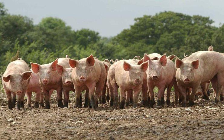 Macrogranjas y explotaciones porcinas a debate: CCOO reúne en una mesa a Gobierno, promotores, patronales, ecologistas y plataformas vecinales contrarias