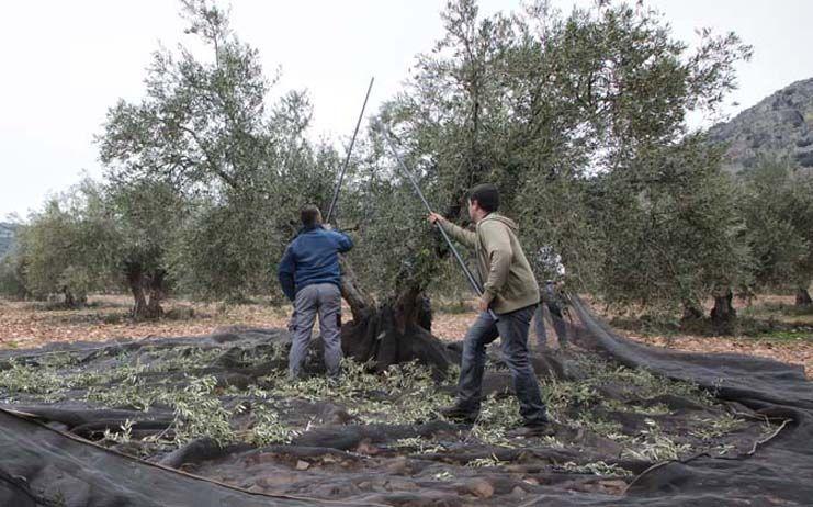 El Gobierno regional impulsa el olivar ecológico a través de inversiones en almazaras dentro de las ayudas a la industria agroalimentaria