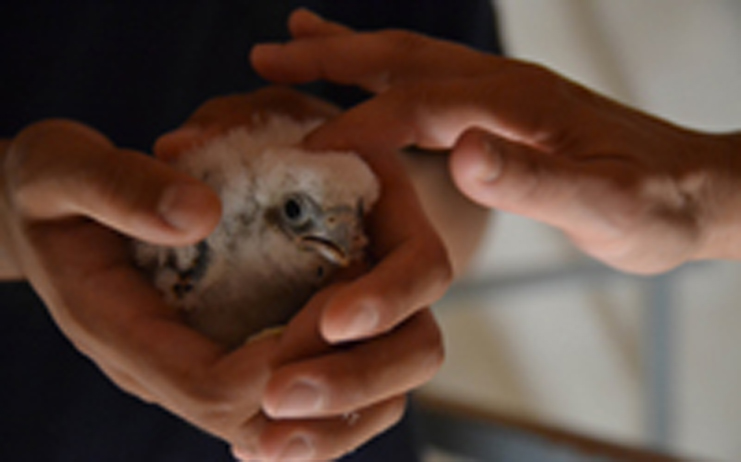 El Primillar de Quer mantiene estable su colonia de cernícalo primilla (especie amenazada de extinción)