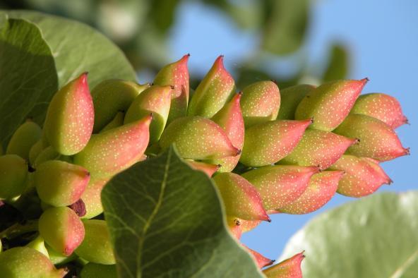 El Gobierno regional impulsa el sector del pistacho, que ha incrementado su superficie en 1.500 hectáreas durante el último año