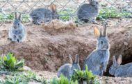 ASAJA CLM critica a las Administraciones por permitir la expansión de la plaga de conejos durante casi una década