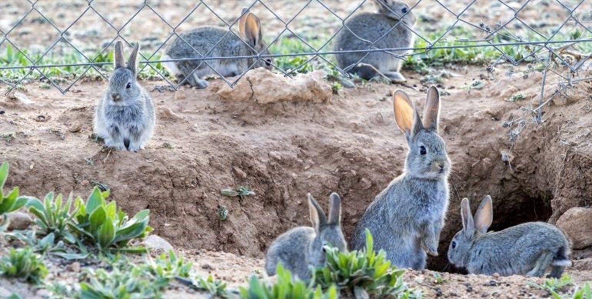 El Gobierno de Castilla-La Mancha declara la comarca de emergencia cinegética temporal por daños de conejos de monte y revisará la situación de sobrepoblación de ciertas especies cinegéticas