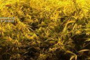 Detenida una joven por cultivar marihuana en una vivienda que había ocupado en Alcaudete de la Jara (Toledo)