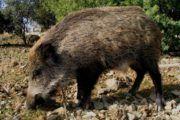 El IREC coordina el diseño de un mapa europeo de jabalíes para frenar la propagación de la peste porcina africana