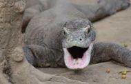 La Guardia Civil interviene por primera vez un dragón de Komodo adquirido ilegalmente
