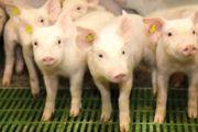 Las granjas de porcino de ICPOR contribuyen a dinamizar y fijar población en el medio rural