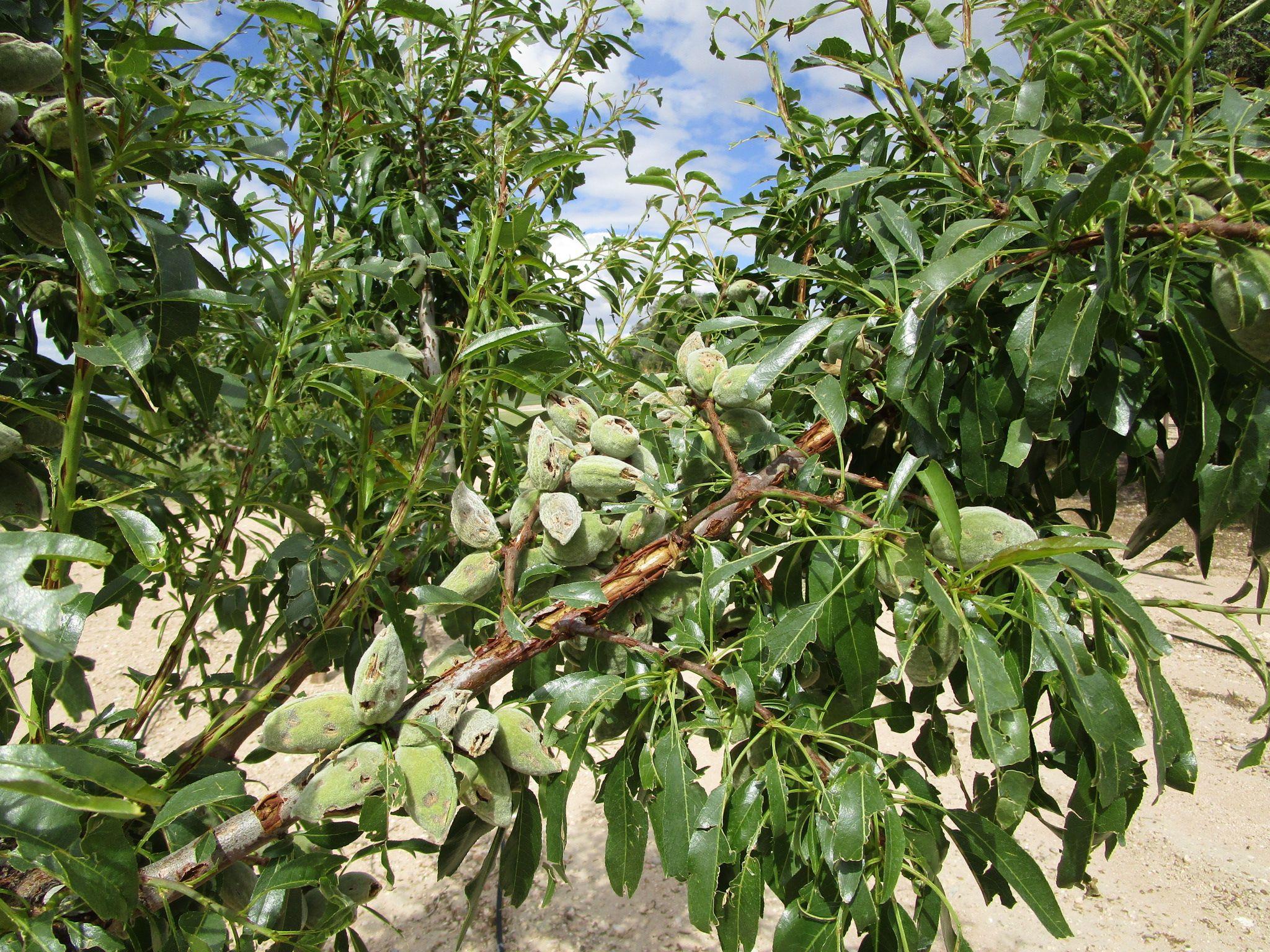 El 30 de noviembre finaliza el periodo de contratación del seguro agrario para almendro y aceituna de almazara