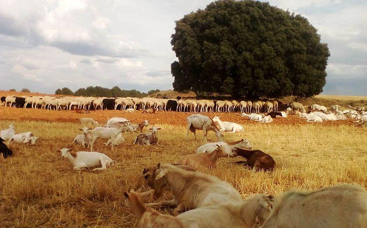 El Gobierno de Castilla-La Mancha hace efectivo el pago de más de 4,6 millones a 585 ganaderos de la provincia de Ciudad Real