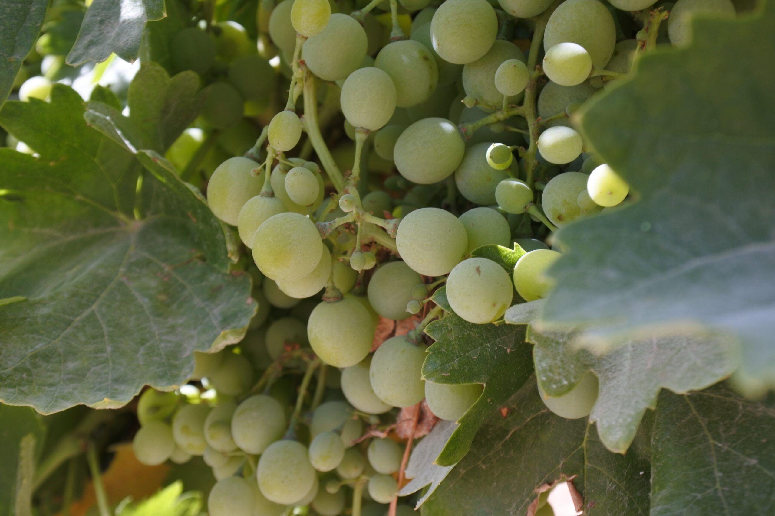 La provincia de Toledo recibe 2,5 millones de euros para la mejora y modernización del sector vitivinícola