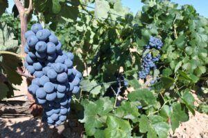 El Gobierno de Castilla-La Mancha abona más de 2,1 millones de euros en ayudas a 211 viticultores de la provincia de Ciudad Real