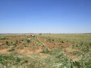 Los productores de ajo percibieron en la pasada campaña más de 21 millones de euros en indemnizaciones por siniestralidad