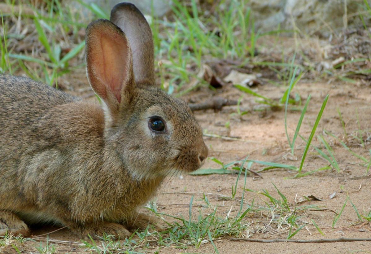 El Gobierno regional prorroga la comarca de emergencia cinegética temporal por daños causados por los conejos en 295 municipios