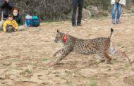 El Gobierno de Castilla-La Mancha publicará el Plan de Recuperación del Lince antes del verano con el objetivo de fomentar la especie y establecer nuevos núcleos de presencia estable y reproductora