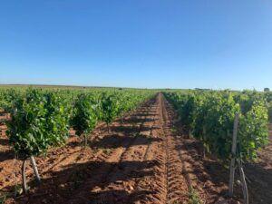 Los nuevos planes para la reestructuración del viñedo presentados afectarán a un total de 1.138 hectáreas en la provincia de Toledo