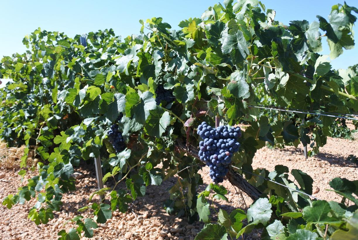 Castilla-La Mancha resuelve ayudas por casi 31 millones de euros para que los viticultores puedan mejorar la competitividad de sus viñedos